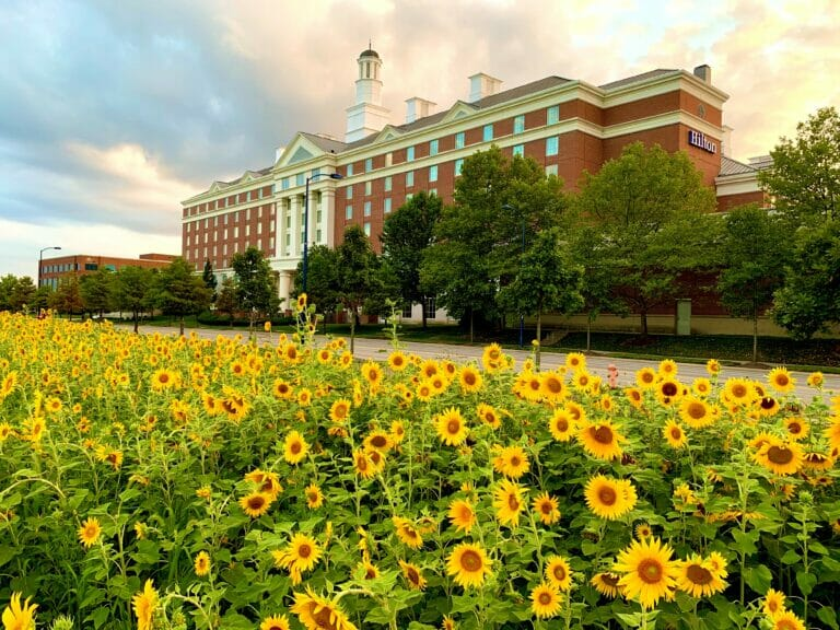 Sunflowers outside the Hilton