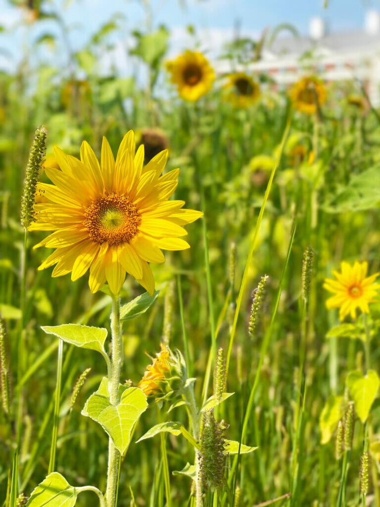 The focus of this image is on one sunflower in a field of sunflowers in front of the Hilton hotel at Easton.